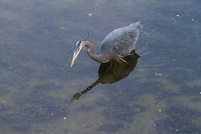 IMAGE: http://mndoci.smugmug.com/Animals/Birds/Birds-Around-The-World/i-28LVHLT/0/L/Grey-Heron-L.jpg