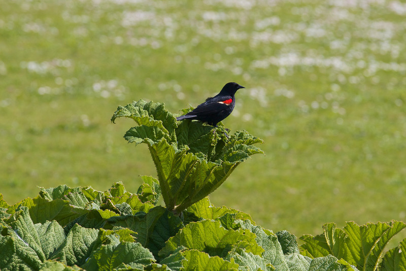 IMAGE: http://mndoci.smugmug.com/Animals/Birds/Birds-Around-The-World/i-3QhBCRB/0/L/Red-Winged-Blackbird-L.jpg