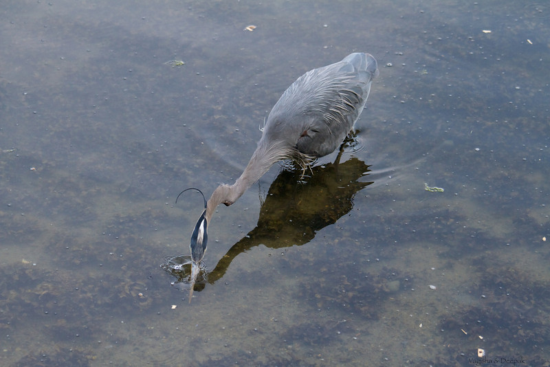 IMAGE: http://mndoci.smugmug.com/Animals/Birds/Birds-Around-The-World/i-5dd9MHN/0/L/Grey-Heron-L.jpg