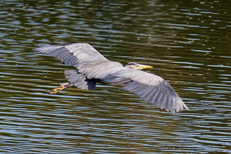 IMAGE: http://mndoci.smugmug.com/Animals/Birds/Birds-Around-The-World/i-7ZmNjps/0/L/Grey-Heron-L.jpg