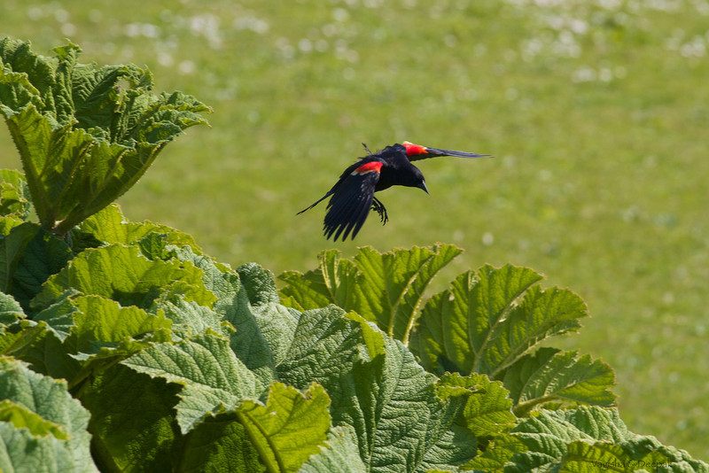 IMAGE: http://mndoci.smugmug.com/Animals/Birds/Birds-Around-The-World/i-JvDFPt9/0/L/Red-Winged-Blackbird-L.jpg
