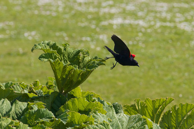 IMAGE: http://mndoci.smugmug.com/Animals/Birds/Birds-Around-The-World/i-Vkf7sGC/0/L/Red-Winged-Blackbird-L.jpg