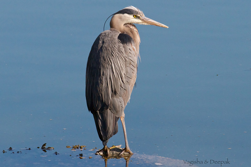 IMAGE: http://mndoci.smugmug.com/Animals/Birds/Birds-Around-The-World/i-hK2qCfS/0/L/Grey-Heron-L.jpg
