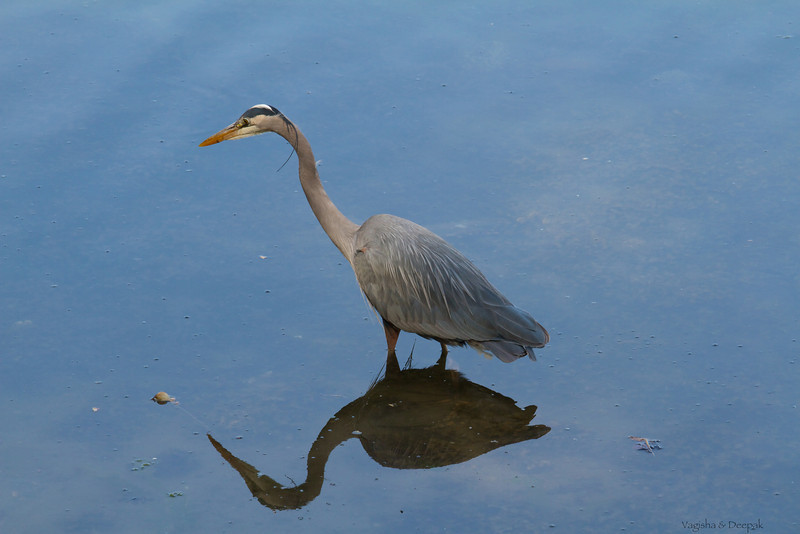IMAGE: http://mndoci.smugmug.com/Animals/Birds/Birds-Around-The-World/i-hNbBG6R/0/L/Grey-Heron-L.jpg