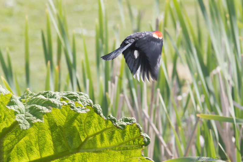 IMAGE: http://mndoci.smugmug.com/Animals/Birds/Birds-Around-The-World/i-mX72z7W/0/L/Red-Winged-Blackbird-L.jpg