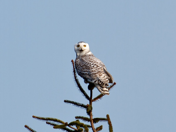 IMAGE: http://mndoci.smugmug.com/Animals/Birds/Snowy-Owls-March-24-2012/i-4RSCd3W/0/M/The-first-closeup-M.jpg