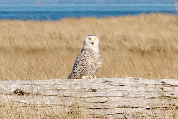 IMAGE: http://mndoci.smugmug.com/Animals/Birds/Snowy-Owls-March-24-2012/i-93WQk3t/0/M/Snowy-Owl-M.jpg