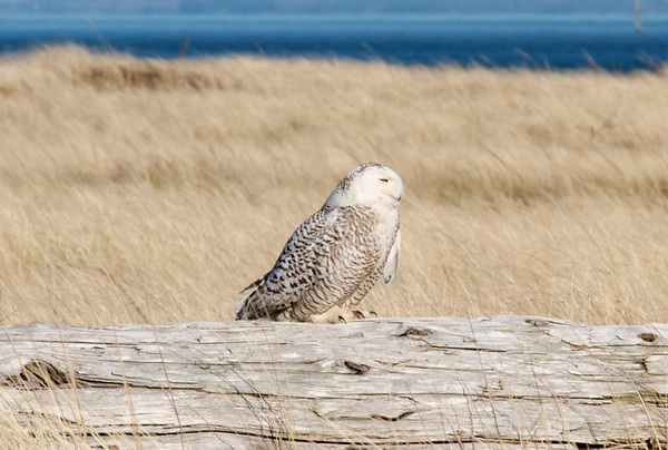 IMAGE: http://mndoci.smugmug.com/Animals/Birds/Snowy-Owls-March-24-2012/i-HqGB5Kz/0/M/Snowy-Owl-M.jpg