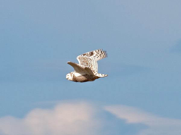 IMAGE: http://mndoci.smugmug.com/Animals/Birds/Snowy-Owls-March-24-2012/i-SXTpQfs/0/M/Snowy-Owl-in-flight-M.jpg