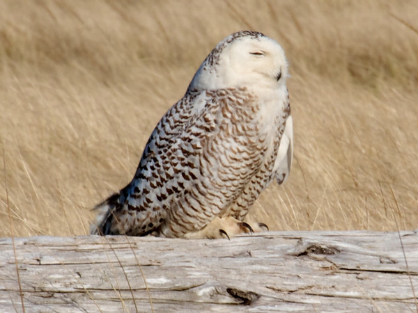 IMAGE: http://mndoci.smugmug.com/Animals/Birds/Snowy-Owls-March-24-2012/i-ZpxG47G/0/M/Snowy-Owl-M.jpg